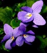 Viola-mammola[1].jpg